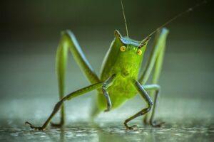 macro_photography_cricket